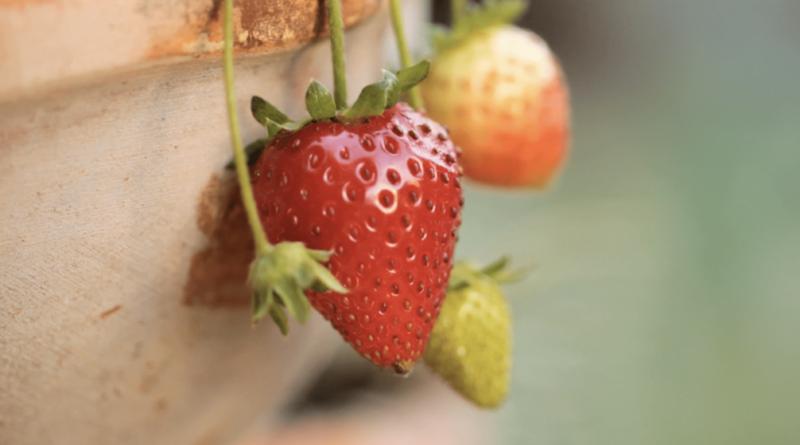 How to make a strawberry shortcake recipe fresh strawberries