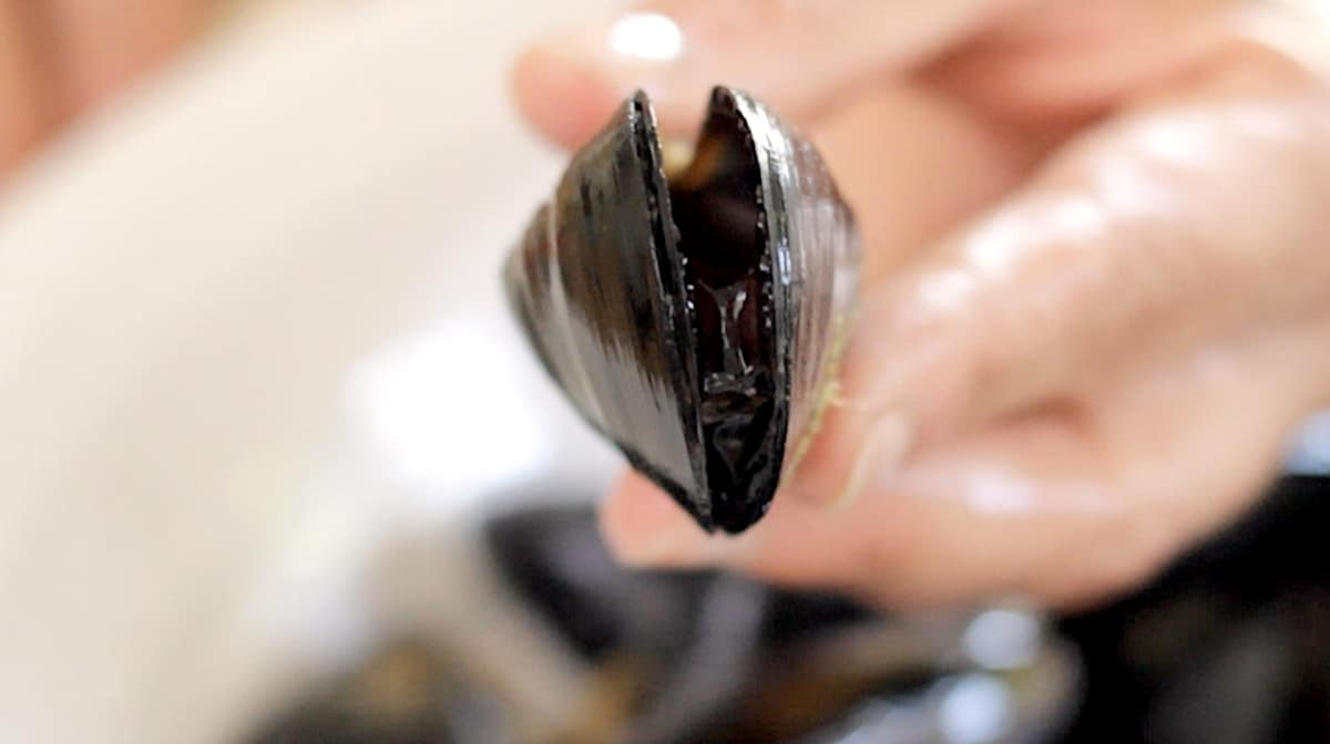 a close up of a mussel that has already opened and should not be eaten
